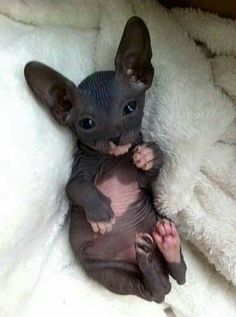 Cat Facts: 6 Fascinating Facts About Hairless Cats Kittens sphynx cat Animals And Pets, Baby Animals, Funny Animals, Cute Animals, Sleepy Animals, Large Animals, Animals Images, Wild Animals, Funny Cats