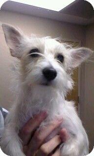 Alpharetta Ga Westie West Highland White Terrier Mix Meet Frannie A Puppy For Adoption West Highland White Terrier White Terrier Puppy Adoption