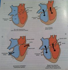 Flow through heart chambers from Colville and Bassert Clinical Anatomy and Physiology for Veterinary Technicians 2