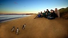 Make way for the penguin parade! A group watching the Penguin Parade on Phillip Island. (Photograph courtesy Phillip Island Nature Parks) - via Guy Kawasaki Australia Tourist Attractions, Parks, Penguin Parade, 100 Things To Do, Fun Things, Phillips Island, Victoria Australia, Melbourne Victoria, Melbourne Hotel