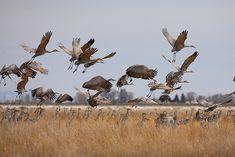 Taking Flight : Sandhill Cranes (Grus canadensis) - San Luis Valley - Colorado : Nate Zeman - Fine Art Nature Photography