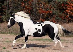 Booker - part Quarter Horse, Thoroughbred and Percheron