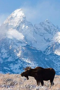 Bull Moose standing below the Grand Teton in Jackson Hole, Wyoming.