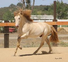 buckskin pearl - Pure Spanish Horse stallion Rey PM