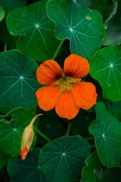 Close-up photo of Nasturtium [Tropaeolum majus] found on Alcatraz. Botanical Flowers, Exotic Flowers, Orange Flowers, Wild Flowers, Beautiful Flowers, Plant Pictures, Flower Pictures, Tropical Plants, Watercolor Flowers