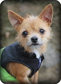 Pictures of Alice a Norfolk Terrier for adoption in Dalton, GA who needs a loving home. Norfolk Terrier, Norwich Terrier, Skye Terrier, Terrier Mix, Chihuahua Love, Small Dog Breeds, Beautiful Dogs, I Love Dogs, Yorkie