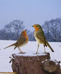 robins All Birds, Love Birds, Birds Of Prey, Little Birds, Rockin Robin, Pretty Birds, Beautiful Birds, Robin Redbreast, Tiny Bird