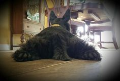 Love this photo. Reminds me of myAmy. Baby Dogs, Doggies, Cute Puppies, Cute Dogs, Scottish Terrier Puppy, Scottie Dogs, Dog Blanket, Westies, Beautiful Dogs