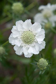 Scabiosa caucasia perfecta 'Alba' – Famous Last Words Summer Flowers, White Flowers, Beautiful Flowers, White Gardens, Belleza Natural, Garden Spaces, Shade Garden, Garden Inspiration, Garden Landscaping