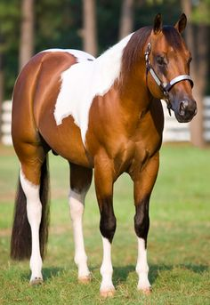The Sweet Spot 2004 APHA Bay Tobiano Stallion by Mark This Spot (PT) out of Sugar Pop Gun by Colonels Smoking Gun. LTE $52,000+