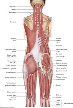 The hamstrings are composed of the semitendinosus, semimembranosus, and the biceps femoris muscles. Permission: Joseph E. Manual Therapy for the Low Back and Pelvis Lower Back Muscles Anatomy, Body Muscle Anatomy, Basic Anatomy And Physiology, Extensor Muscles, Anatomy Models, Medical Anatomy, Massage Therapy, Human Body, Fitness Inspiration