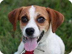 East Brunswick, NJ - Rat Terrier/Beagle Mix. Meet Shiloh, a dog for adoption. http://www.adoptapet.com/pet/11340233-east-brunswick-new-jersey-rat-terrier-mix