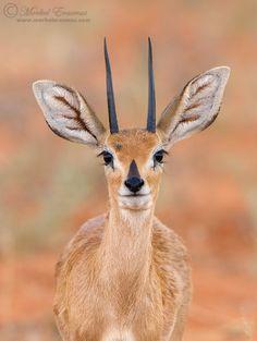 Africa | Serene Steenbok. Kgalagadi Transfrontier Park, South Africa. | © Morkel Erasmus