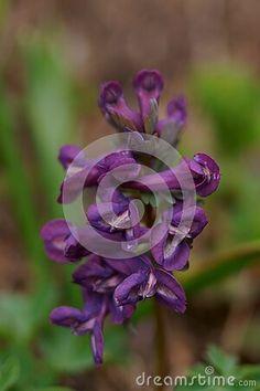 wild-purple-flower-fumewort-flowers-corydalis-solida