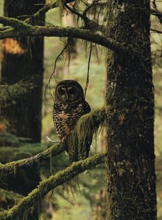 Watcher in the woods. Owl ☽♡☾The Enchanted Forest ☽♡☾ Grand Duc, Walk In The Woods, Tier Fotos, Mundo Animal, Woodland Creatures, Birds Of Prey, Nocturne, Bird Feathers, Beautiful Creatures