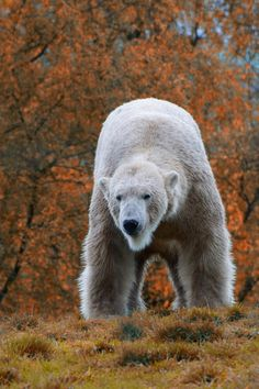 A Polar Bear.