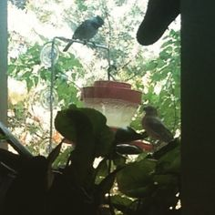 You thought this feeder was just for hummingbirds didn't you? :) #nature #naturephoto #birds #birding #texasphotos #texas #heardmuseum #heardmuseummckinney