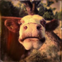 Cow, Animals, Block Prints, Animales, Animaux, Cattle, Animal, Animais