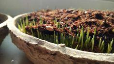 Neues aus dem heimgruen-Labor - Unsere Tests mit #Weizengras, #Microgreens & Co verlaufen sehr vielversprechend, sodass wir uns dazu entschieden haben, eine neue Produktlinie zu kreieren. Man darf also gespannt sein!  www.heimgruen.de