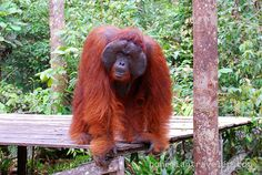 Alpha Male orangutan in Tanjung Putting National Park, Kalimantan, Indonesia #travel2indonesia cc: @Indonesia Travel