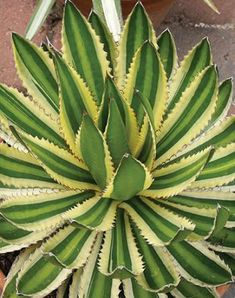 "Agave lophantha ""Quadricolor"" is beautiful.  Grows 18"" tall by 2 ' wide with lots of pups."