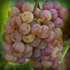 Somerset - Un raisin sans pépin pour saisons courtes -