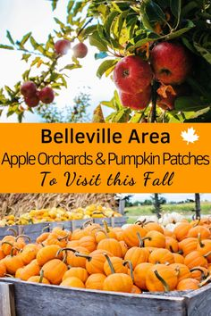 Fall is the perfect time of year for visiting pumpkin patches, apple orchards, and corn mazes. Whether you're looking to go apple picking or want to spend a day out with the kids, these are the orchards and pumpkin patches in the Belleville area you Pumpkin Varieties, Squash Varieties, Canadian Passport, Canadian Travel, Pick Your Own Pumpkins, Ontario Travel, Pumpkin Patches, Corn Maze, Travel Usa