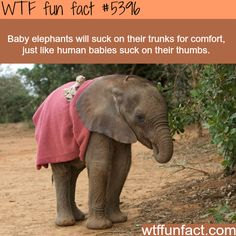 How elephants are much like humans - WTF fun facts
