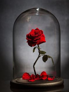 17 Ideas Wallpaper Rose Beauty And The Beast - Wallpaper Quotes Rose Wallpaper, Trendy Wallpaper, Disney Wallpaper, Cute Wallpapers, Wallpaper Backgrounds, Iphone Wallpaper, Forever Rose, Online Flower Delivery, Whatsapp Wallpaper