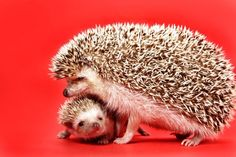 Mother and baby hedgehog stock image. Image of mother - 4851587 Hedgehog For Sale, Happy Hedgehog, Cute Hedgehog, Cane Corso, Cute Baby Animals, Animals And Pets, Small Animals, Sphynx, Funny Babies