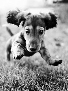Dashing dachshund ...........click here to find out more http://googydog.com ...... P.S. PLEASE FOLLOW ME IN HERE @Emily Schoenfeld Schoenfeld Schoenfeld Schoenfeld Schoenfeld Schoenfeld Wilson
