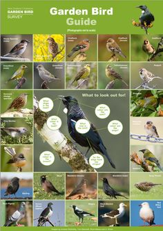 "BIRD SURVEY STARTS JUNE 28TH. The garden bird survey is a citizen science project established to monitor the population trends of common garden birds in New Zealand. It attempts to answer the question, ""Are garden bird populations increasing, decreasing, or remaining stable?"""