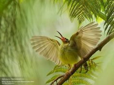 Spectacled Spiderhunter (80 pieces)