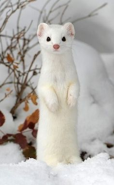 """This article will answer common questions regarding the weasel's unique diet such as """"what do weasels eat?"""" or """"can I have a weasel as a pet? Cute Funny Animals, Cute Baby Animals, Animals And Pets, Rare Albino Animals, Cute Ferrets, Cute Animal Pictures, Exotic Pets, Spirit Animal, Animal Photography"""