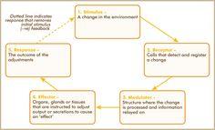 a stimulus-response feedback model