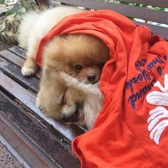 These sleeping cuties who have a place for you, too. | Community Post: 23 Pomeranians Who Want To Cheer You Up