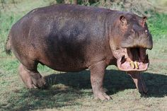 https://flic.kr/p/qHswXQ | Hippo with open jaw, Serengeti National Park, Tanzania | World Tour 2013-2014 - day 326