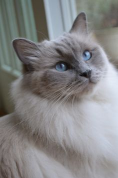 Dasher-Ragdoll Cat. I want one again! If I ever get to be successful in my business and can get the house cleaned up again! :D