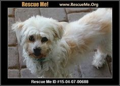 Rescue Me ID: 15-04-07-00688Gala (female)  Maltese Mix  Age: Adult  Compatibility:Good w/ Most Dogs, Good w/ Most Cats, Good w/ Kids and Adults Personality:Low Energy, Submissive Health:Spayed, Vaccinations Current  Gala is a sweet, six year old very gentle maltipoo. She was rescued from Pinal County Animal Shelter. She is available for adoption, but she has a dental cleaning scheduled on April 20th. She is spayed, fully vaccinated and microchipped. Please Christie if you…