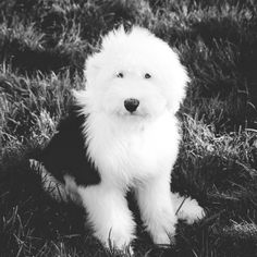 Bernadette is one cool Old English Sheepdog