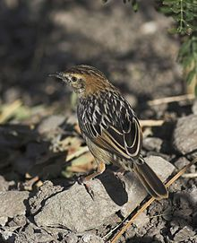 The Stout Cisticola (Cisticola robustus) is a species of bird in the Cisticolidae family. It is found in Angola, Burundi, Cameroon, Republic of the Congo, Democratic Republic of the Congo, Eritrea, Ethiopia, Kenya, Nigeria, Rwanda, Sudan, Tanzania, Uganda, and Zambia. Its natural habitats are boreal forests, moist savanna, and subtropical or tropical high-altitude grassland.