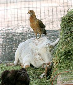 Goat & Chicken