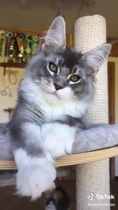 Funny Cute Cats, Cute Baby Cats, Cute Cats And Kittens, Cute Little Animals, Cute Funny Animals, Kittens Cutest, Siamese Kittens, Tabby Cats, Funny Kittens