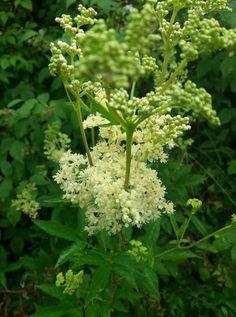 Bylinkové tinktury | Bylinky pro radost Parsley, Herbs, Herb, Medicinal Plants
