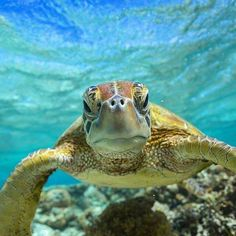 did you know that today is turtle day? save them! Perth, Brisbane, Melbourne, Happy Turtle, Turtle Love, Ocean Art, Ocean Life, World Turtle Day, New Zealand Adventure