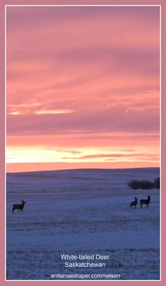 White-tailed Deer trot across Southeastern Saskatchewan with pink sunrise in the background on Mar 15, 2017.