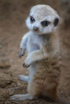 This meerkat pup appears to have a case of the grumpies at the San Diego Zoo.