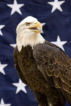 Types of Eagles - American Bald Eagle art portraits, photographs, information and just plain fun The Eagles, Types Of Eagles, Beautiful Birds, Animals Beautiful, Cute Animals, American Spirit, American Flag, Eagle Images, Eagle Art
