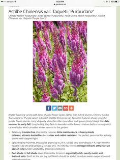Goats Beard, Alchemilla Mollis, Japanese Anemone, Purple Candles, Astilbe, Light Shades, Garden, Flowers, Plants