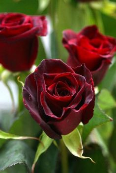 Black Beauty Rose, Velvet black-cherry red, stunning to look at. It's one of our most unique sellers!